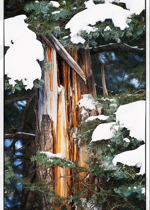 Pine Trees Greeting Card featuring the photograph Pine Bark by Lisa Spencer