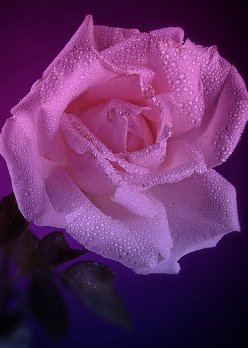 Rose Greeting Card featuring the photograph Pink And Blue Rose In The Rain by M K Miller