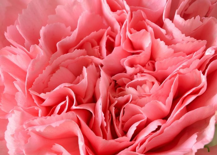J.d. Grimes Greeting Card featuring the photograph Pink Carnation by JD Grimes