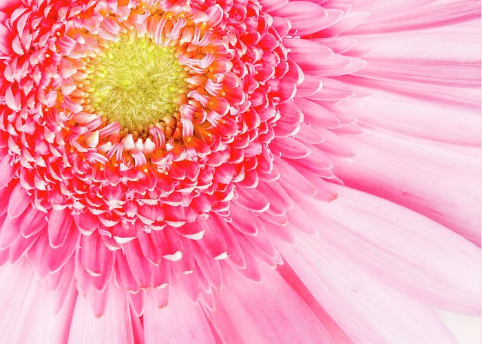 Pink Greeting Card featuring the photograph Pink Delight II by Tamyra Ayles