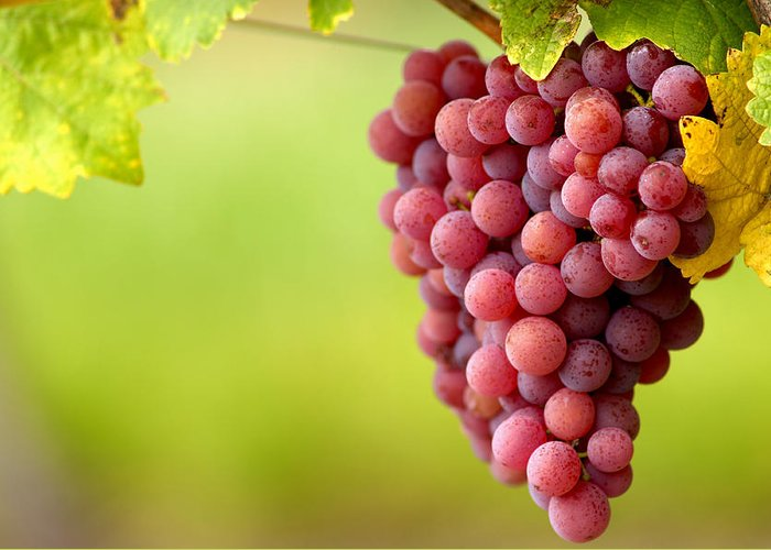 Vitis Vinifera Greeting Card featuring the photograph Pinot Noir Grapes by Jeremy Walker