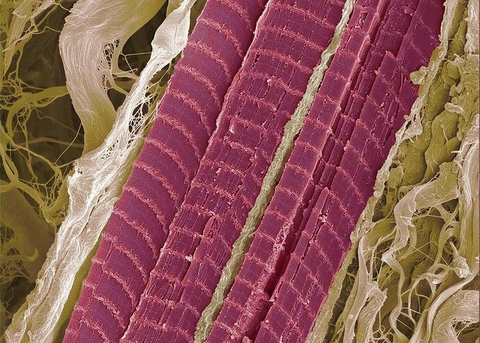 Lumbrical Greeting Card featuring the photograph Primate Finger Muscle, Sem by Steve Gschmeissner