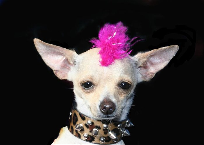 Punk Rock Chihuahua Chihuahuas Dog Dogs Pet Pets Animal Animals Puppy Puppies 80's Mohawk Greeting Card featuring the photograph Punk Rock Chihuahua by Ritmo Boxer Designs