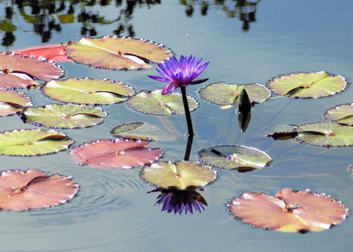 Purple Greeting Card featuring the photograph Purple Mirror by