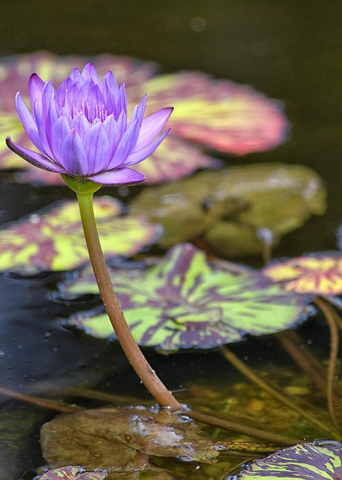 Flower Greeting Card featuring the photograph Purple Water Lilly by Lauri Novak