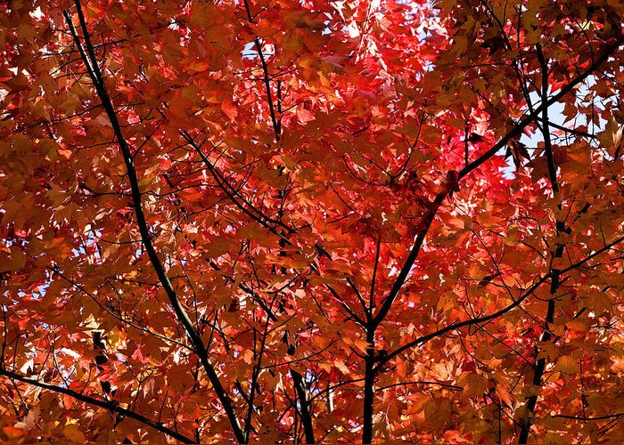 Red Greeting Card featuring the photograph Red Leaves Black Branches by Rich Franco