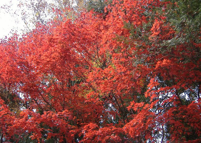 Japan Greeting Card featuring the photograph Red Tree by Naxart Studio