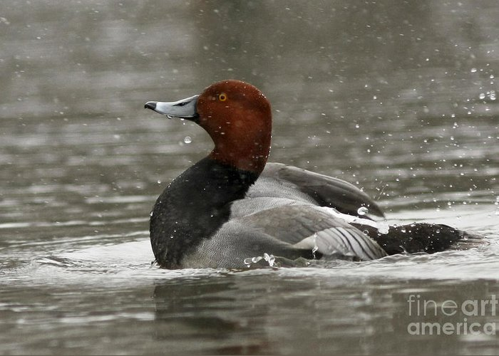 Canadian Greeting Card featuring the photograph Redhead Duck Flapping Its Wings by Inspired Nature Photography Fine Art Photography