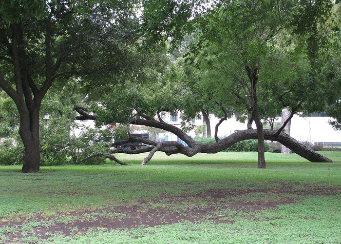 Liveoak Tree In Fort Worth Greeting Card featuring the photograph Same Kind Of Different by Shawn Hughes