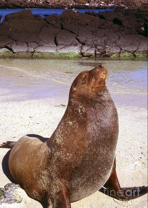 Sea Lion Greeting Card featuring the photograph Sea Lion On Genovesa Island by Thomas R Fletcher