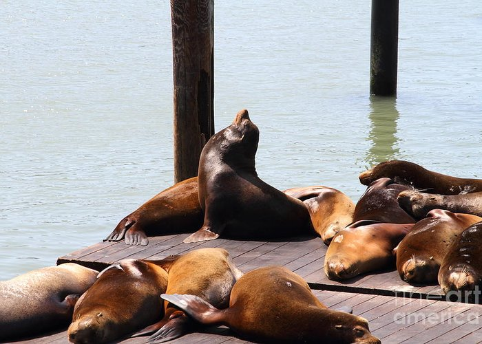 San Francisco Greeting Card featuring the photograph Sea Lions At Pier 39 San Francisco California . 7d14314 by Wingsdomain Art and Photography