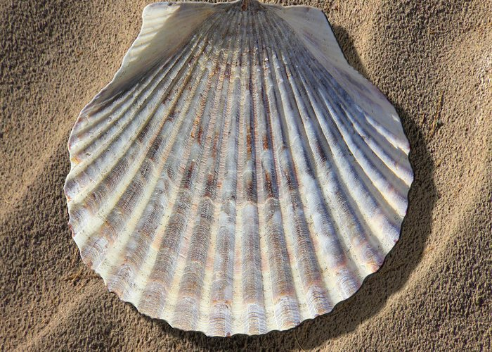 Sea Shell Greeting Card featuring the photograph Sea Shell 2 by Mike McGlothlen