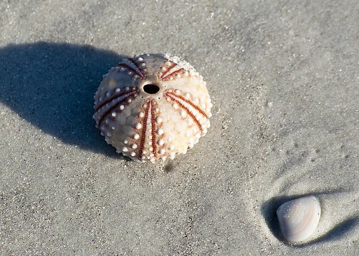 Beach Greeting Card featuring the photograph Sea Urchin And Shell by Kenneth Albin