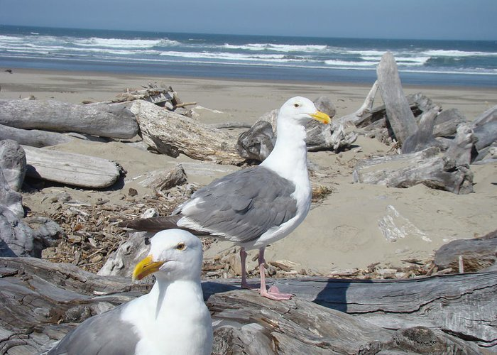 Seagull Greeting Card featuring the photograph Seagull Bird Art Prints Coastal Beach Bandon by Baslee Troutman