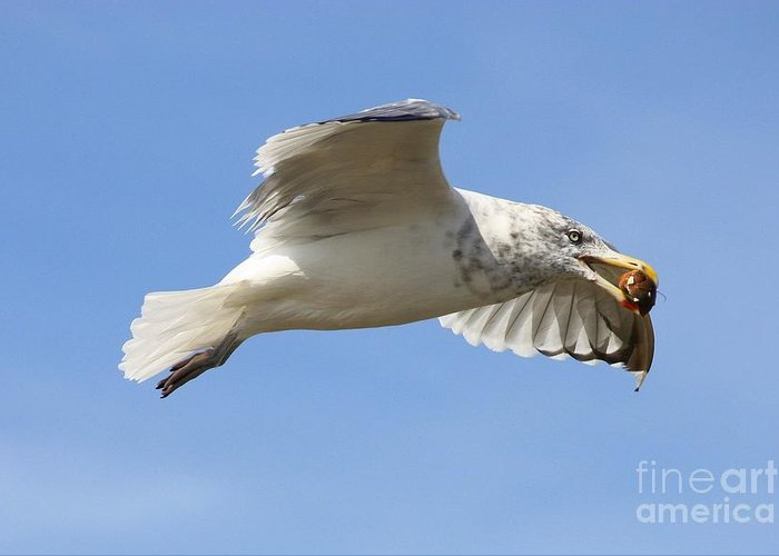 Seagull Greeting Card featuring the photograph Seagull With Snail by Carol Groenen