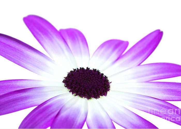 Senetti Greeting Card featuring the photograph Senetti Magenta Bi-colour by Richard Thomas