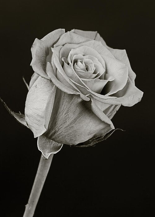 Rose Greeting Card featuring the photograph Sharp Rose Black And White by M K Miller
