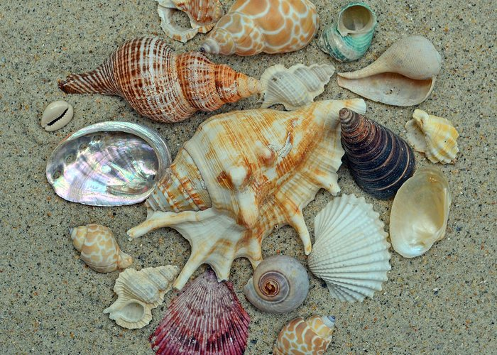 Shells Greeting Card featuring the photograph Shell Collection 2 by Sandi OReilly
