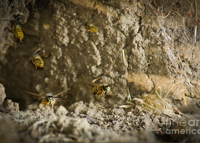 Yellow-jacket Greeting Card featuring the photograph Shift Change Yellow-jacket Wasps Flying Out To Forage As Others Return To The Nest by Andy Smy