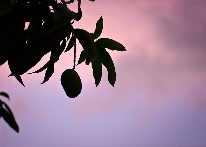 Mango Greeting Card featuring the photograph Single Mango On A Tree At Twilight by Anya Brewley schultheiss