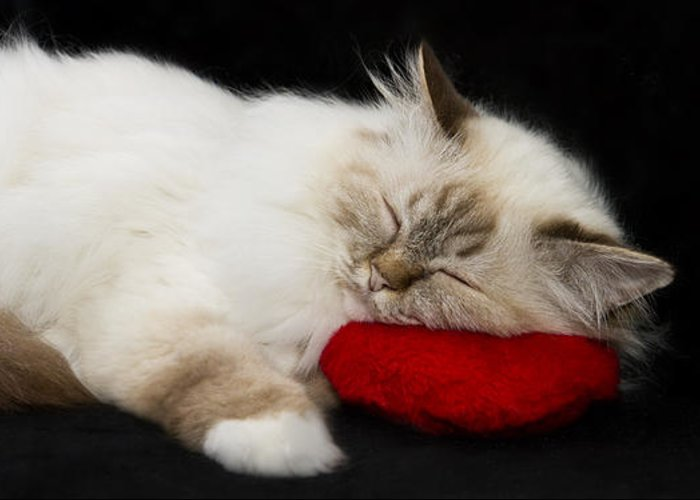 Pillow Greeting Card featuring the photograph Sleeping Birman by Melanie Viola
