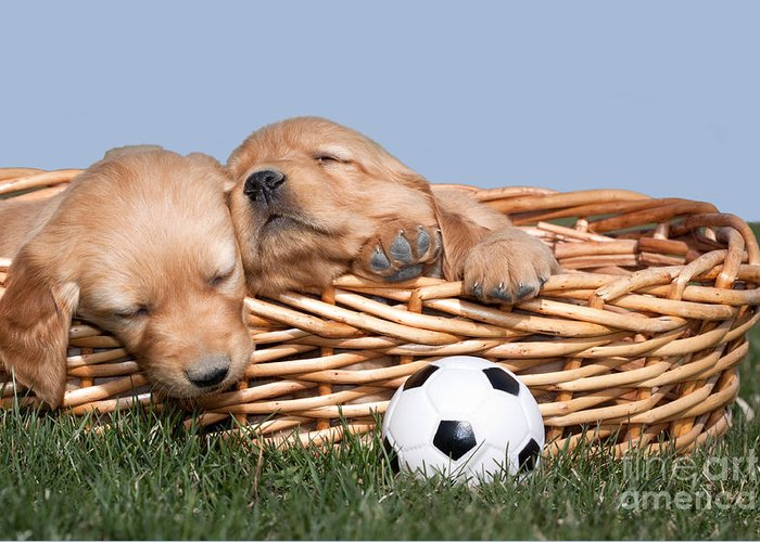 Dogs Greeting Card featuring the photograph Sleeping Puppies In Basket And Toy Ball by Cindy Singleton