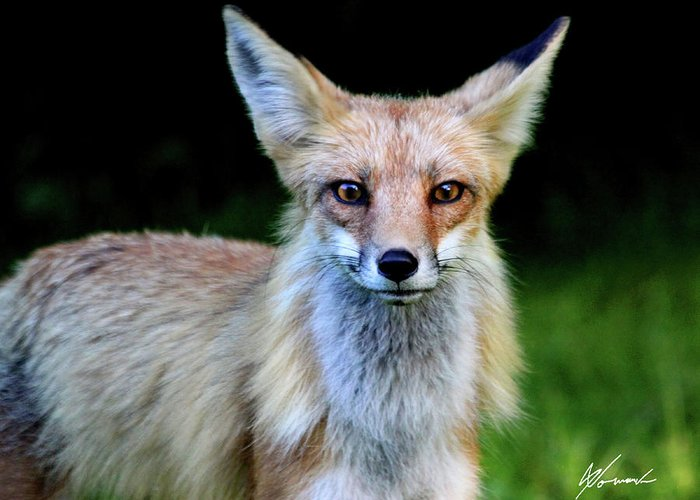 Fox Greeting Card featuring the photograph Sly by Sarah Lalonde
