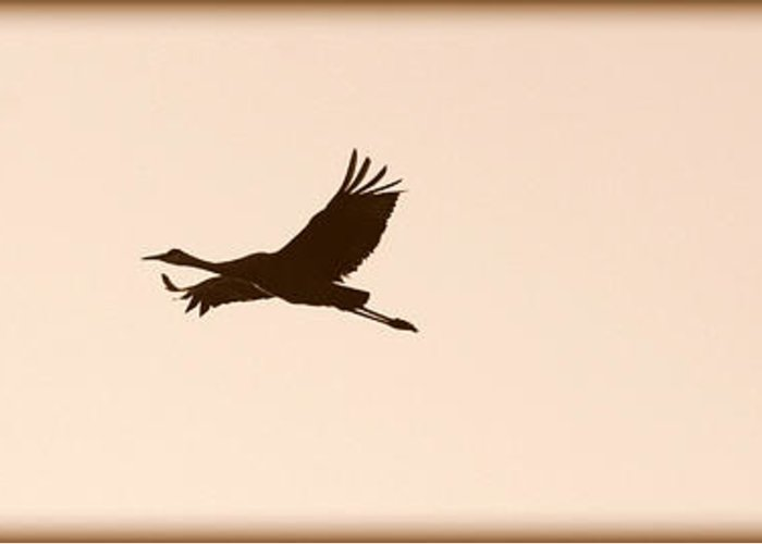Flying Sandhill Cranes Greeting Card featuring the photograph Soaring Sandhills Silhouette by Carol Groenen