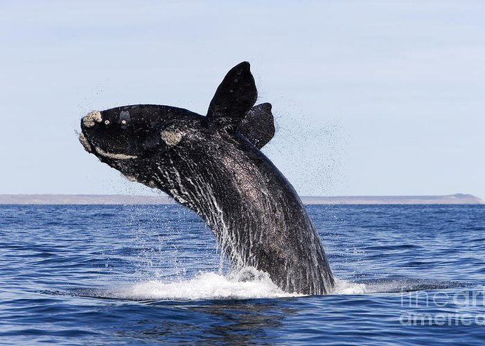 Animalia Greeting Card featuring the photograph Southern Right Whale by Francois Gohier and Photo Researchers