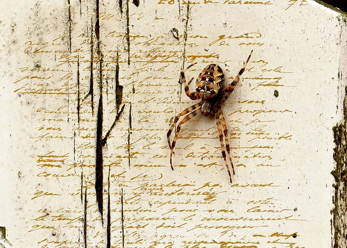 Spider Greeting Card featuring the photograph Spider Letter by Yvon van der Wijk