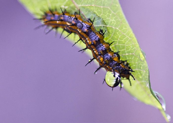 Caterpillar Greeting Card featuring the photograph Spikes And Drops by Priya Ghose
