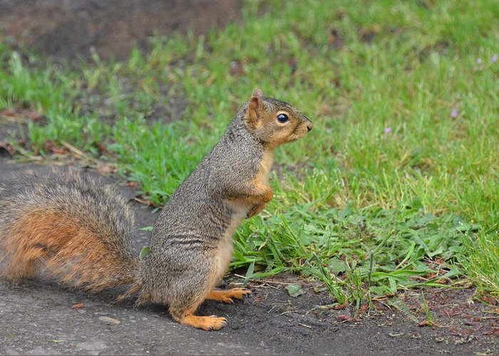 Squirrel Greeting Card featuring the photograph Squirrel by Linda Larson