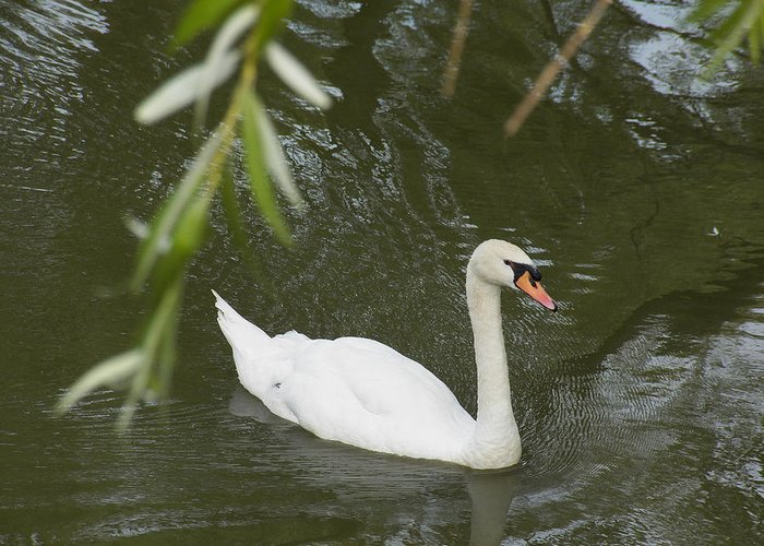 Swan Greeting Card featuring the photograph Swan Enjoying A Swim by Corinne Elizabeth Cowherd