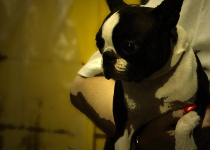 Dogs Greeting Card featuring the photograph The Boston Bull Terrier by Steven Digman