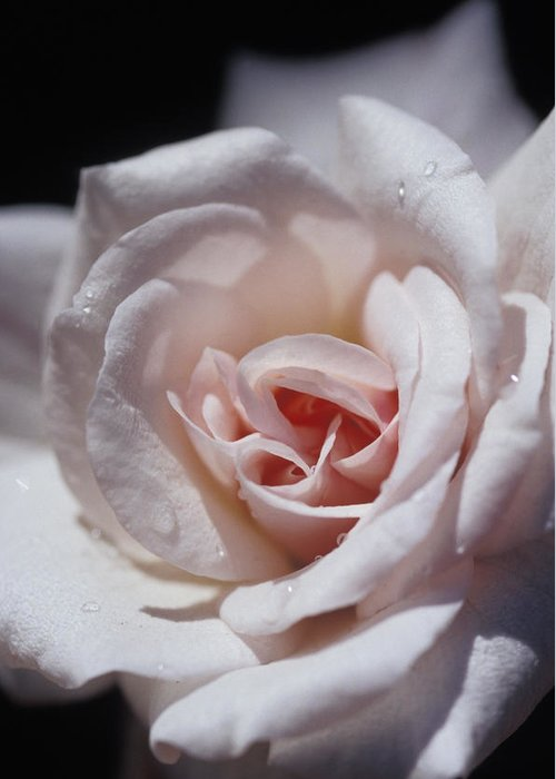 Cecil Brunner Rose Greeting Card featuring the photograph The Delicate Pale Pink Petals by Jason Edwards