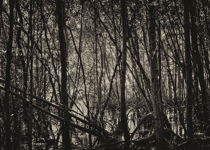 Mangrove Forest Greeting Card featuring the photograph The Mangrove by Armando Perez