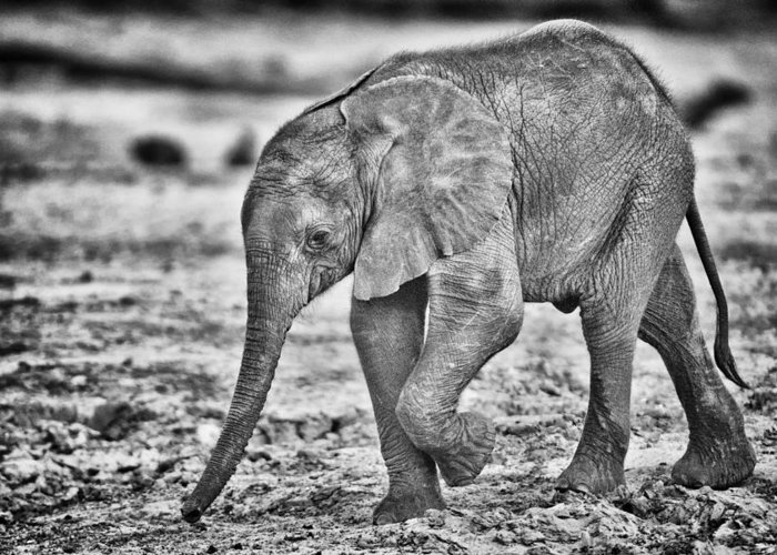 Chobe Greeting Card featuring the photograph This Is Botswana No. 6 - Wait Up Mother by Paul W Sharpe Aka Wizard of Wonders