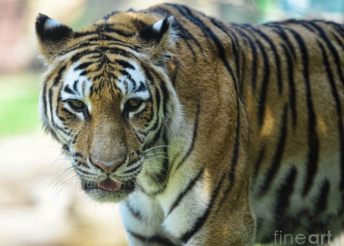 Tiger Greeting Card featuring the photograph Tiger - Endangered - Wildlife Rescue by Paul Ward