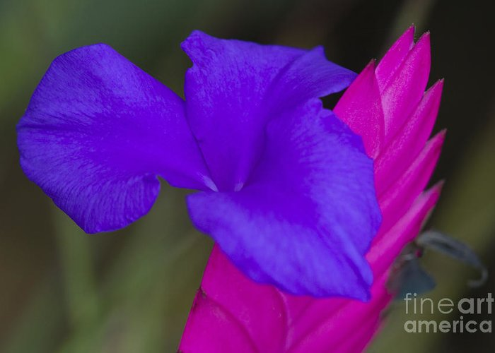 Heiko Greeting Card featuring the photograph Tillandsia Cyanea by Heiko Koehrer-Wagner