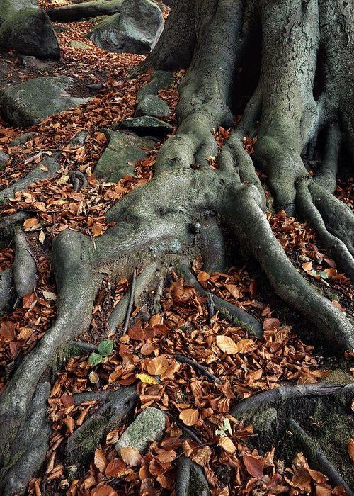 Padley Gorge Greeting Card featuring the photograph Tree Roots Of A Beech Tree by Adrian Bicker