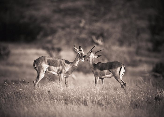 Animal Greeting Card featuring the photograph Two Antelopes Together In A Field by David DuChemin