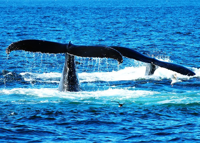 Two Whale Tails Greeting Card by Paul Ge