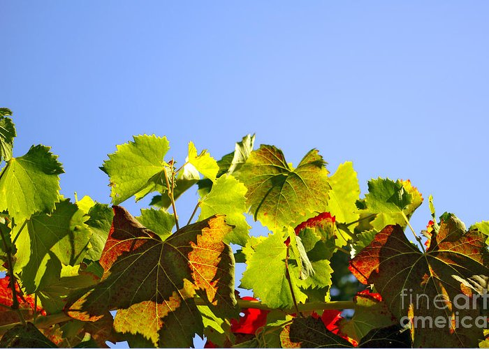 Agriculture Greeting Card featuring the photograph Vineyard Leaves by Carlos Caetano