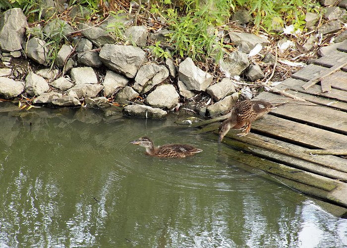 Ducks Greeting Card featuring the photograph Wait For Me by Corinne Elizabeth Cowherd