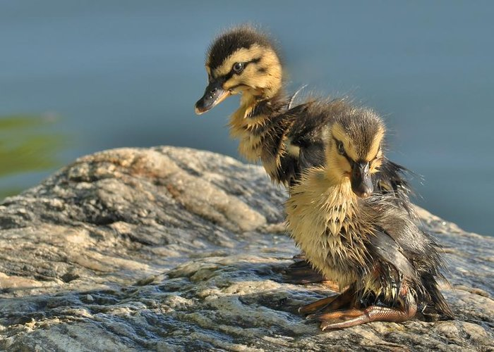 Mallard Hatchlings Greeting Card featuring the photograph Waiting For Momma by Cindy Fullwiler
