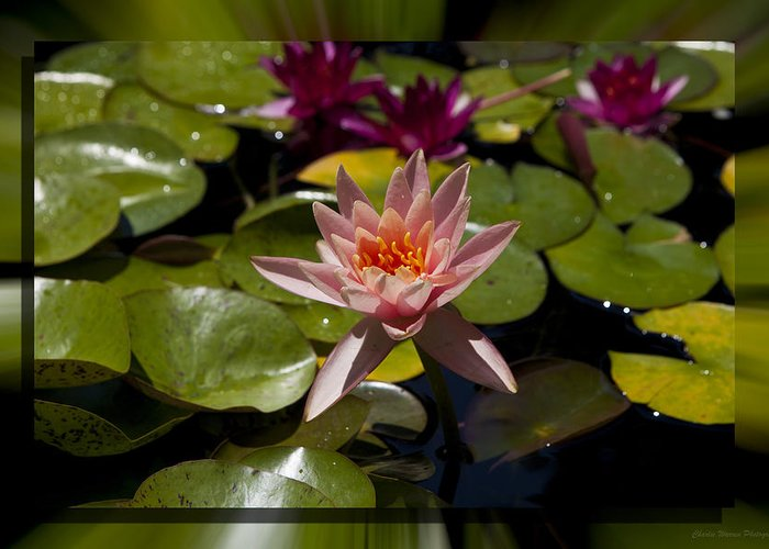 Water Lilly Greeting Card featuring the photograph Water Lilly 6 by Charles Warren