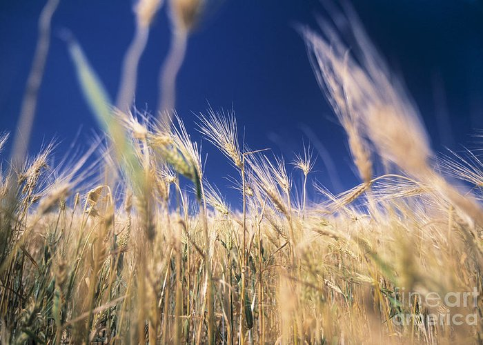 Agricultural Activity Greeting Card featuring the photograph Wheat Field by Juan Silva