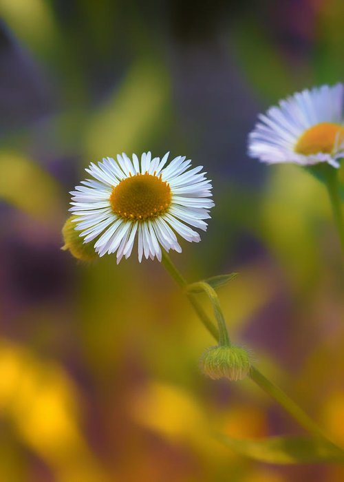 Aster Greeting Card featuring the photograph White Wildflower On Pastels by Bill Tiepelman