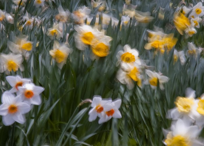 Daffodil Greeting Card featuring the photograph Wind by Ron Smith