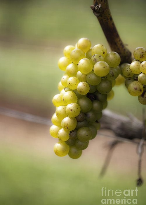 Grapes Greeting Card featuring the photograph Wine Grapes by Leslie Leda